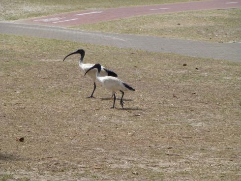 A Pair of Ibis