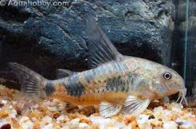 'Pepper' a member of the Pepper Catfish family companion of Big Al
