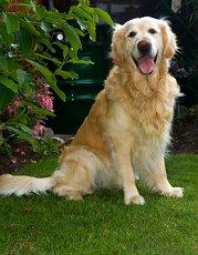 goldenretrievers3